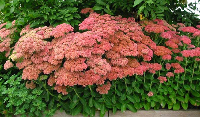 sedum autumn joy red